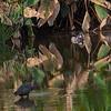A pair of Wood Ducks in habitat- Peaceful Waters, Wellington, FL