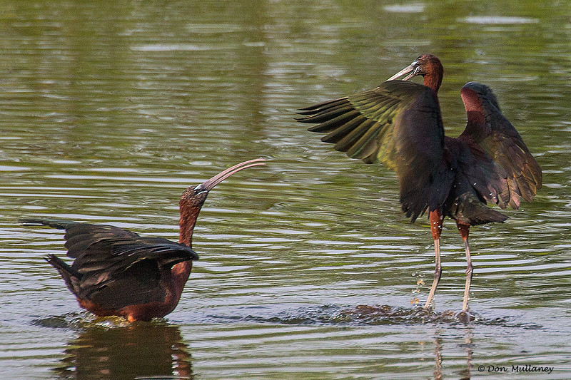 Territorial  issues precipitate a scuffle between two Glossy Ibis , scene one.<br /> Peaceful Waters, Wellington, FL