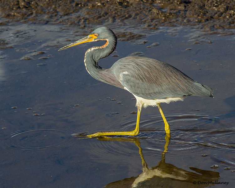 Tri-colored Heron on a stroll- Green Cay Wetlands, Boynton Beach, FL