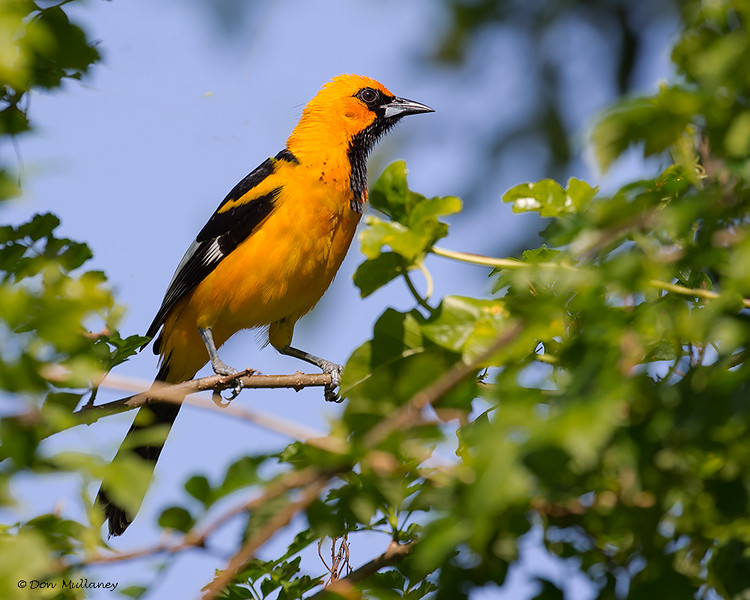 Spot-breasted Oriole - Lake Worth, FL