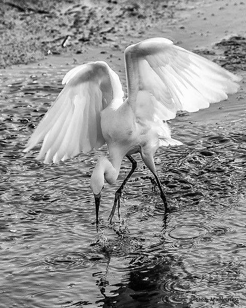 Great Egret feeding in B&W- Wakodahatchee Wetlands, Delray Beach, FL