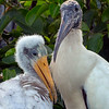 Adult Wood Stork and chick- Wakodahatchee Wetlands, Delray Beach, FL