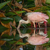 This Spoonbill and White Ibis are enjoying the lower water levels - Peaceful Waters, Wellington, FL
