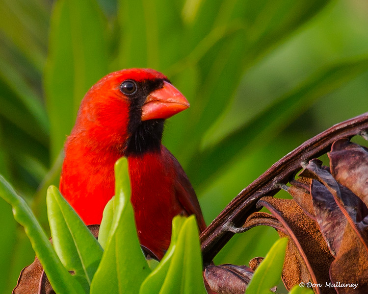 Northern Cardinal- Peaceful Waters, Wellington, FL