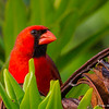 Northern Cardinal- Peaceful Waters, Wellington, FL