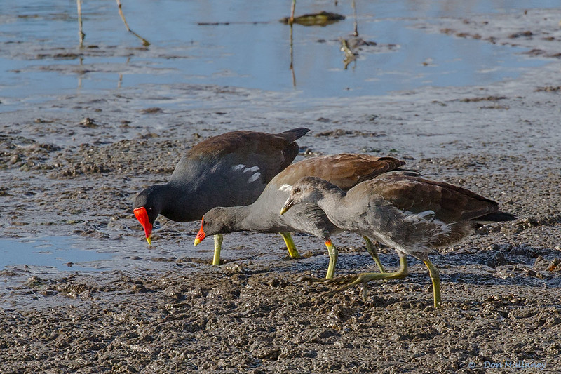 A Common Gallinue family - Green Cay Wetlands, FL