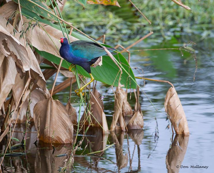 Purple Gallinue feeding - Wakodahatchee Wetlands, Delray Beach, FL