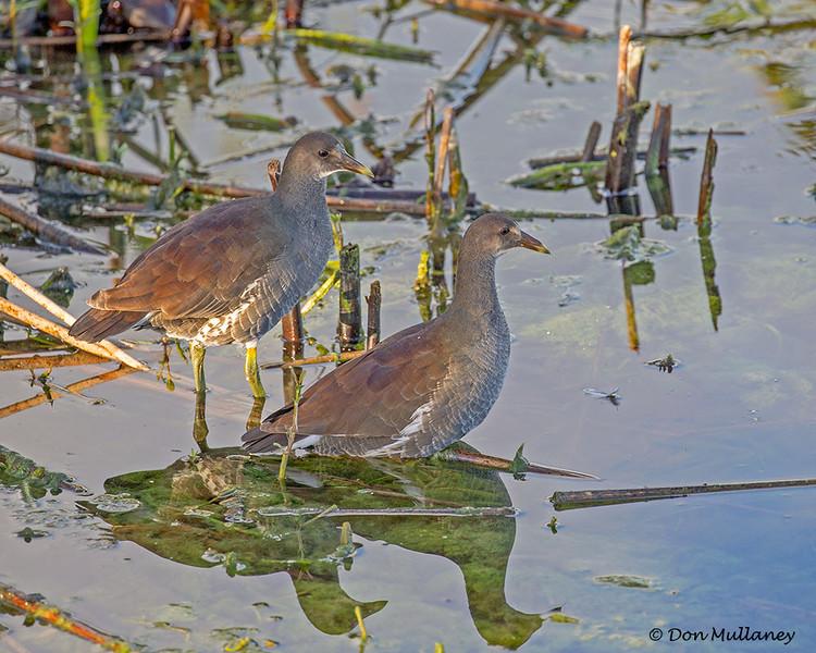 A pair of juvenile Common Gallinues - Green Cay Wetlands, Boynton Beach, FL