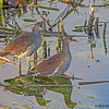 A pair of juvenile Common Gallinues - Green Cay Wetlands, Boynton Beach, FL