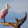 Roseate Spoonbill's Vigil - Peaceful Waters, Wellington, FL