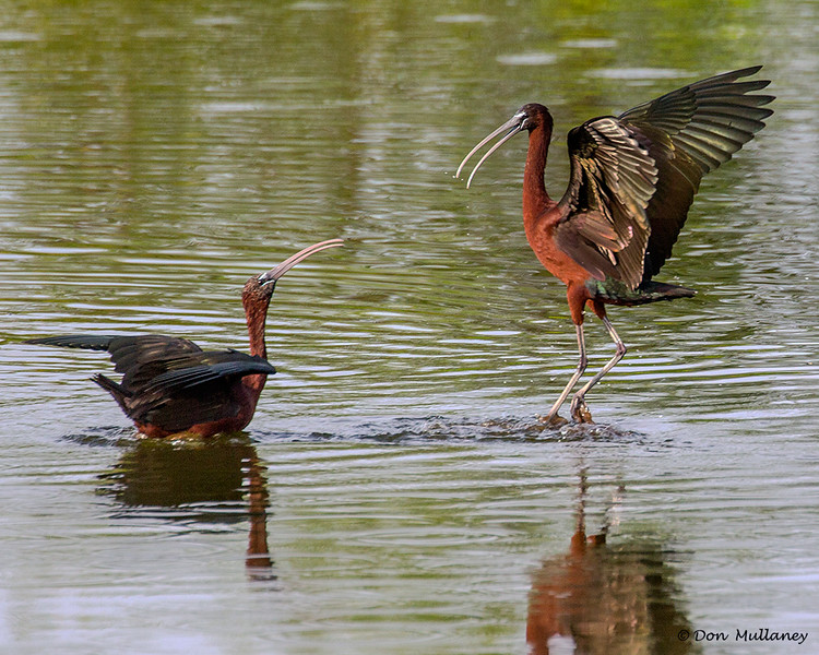 Glossy Ibis, scene two.