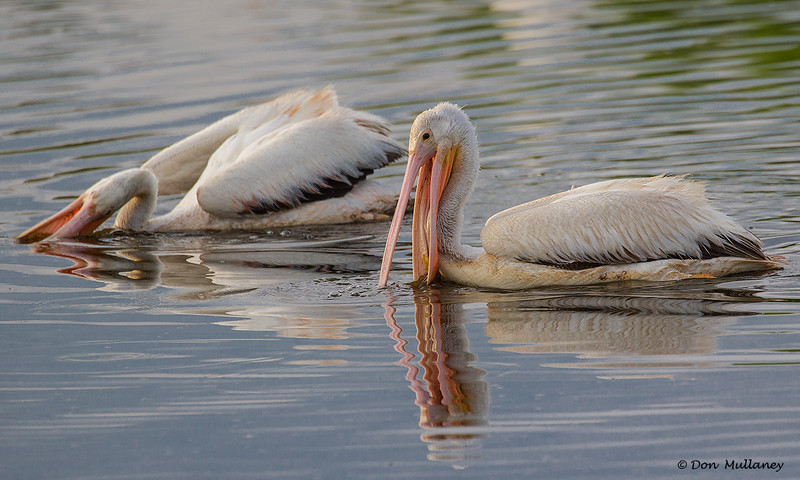 Two White Pelicans enjoying their morning-  Peaceful Waters, Wellington, FL