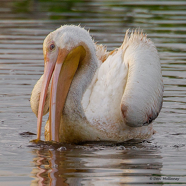 White Pelican - Peaceful Waters, Wellington, FL