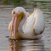 White Pelican - Peaceful Waters, Wellington, FL