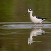 Black-backed Stilt- Peaceful Waters, Wellington, FL