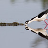 Black-necked Stilt feeding.<br /> <br /> Peaceful Waters, Wellington, FL
