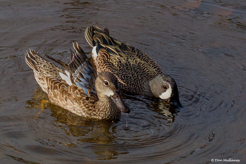 A pair of Blue-winged Teals - Wakodahatchee Wetlands, Delray Beach, FL