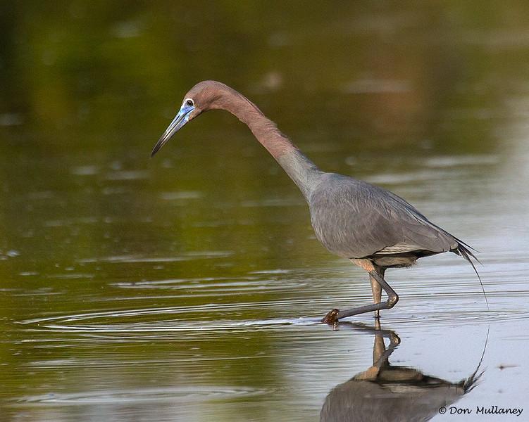 Little Blue Heron in breeding colors - Peaceful Waters, Wellington, FL