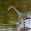 Little Blue Heron in breeding colors - Peaceful Waters, Wellington, FL