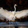 Great Egret touching down - Peaceful Waters, Wellington, FL