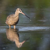 Marbled Godwit - Peaceful Waters, Wellington, FL