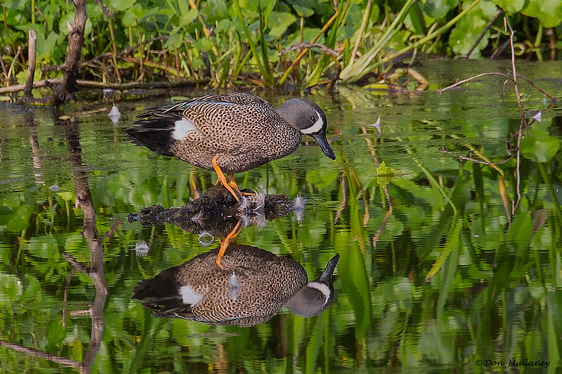 A male Blue-winged Teal - Peaceful Waters, Wellington, FL