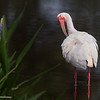 A beautiful White Ibis, in breeding colors, preening.- Peaceful Waters, Wellington, FL