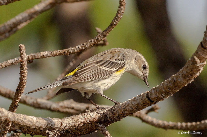 Yellow-rumped Warbler looking for insects - Wakodahatchee Wetlands, Delray Beach, FL