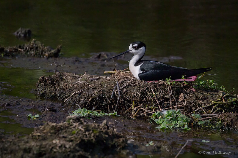 Black-necked Stilt on nest - Wakodahatchee Wetlands, Delray Beach, FL