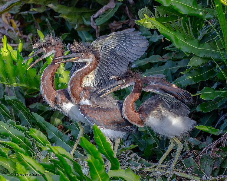 A trio of Tri-colored Heron chicks- Wakodahatchee Wetlands, Delray Beach, FL