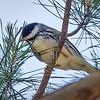 Blackpoll Warbler - Seacrest Scrub, Boynton Beach, FL