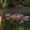 A pair of beautiful Wood Ducks. <br /> <br /> Peaceful Waters, Wellington, FL
