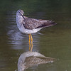 A Yellowlegs enjoying the lowered water level.<br /> <br /> Peaceful Waters, Wellington, FL