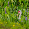 A nesting Sandhill Crane.<br /> <br /> Peaceful Waters, Wellington, FL