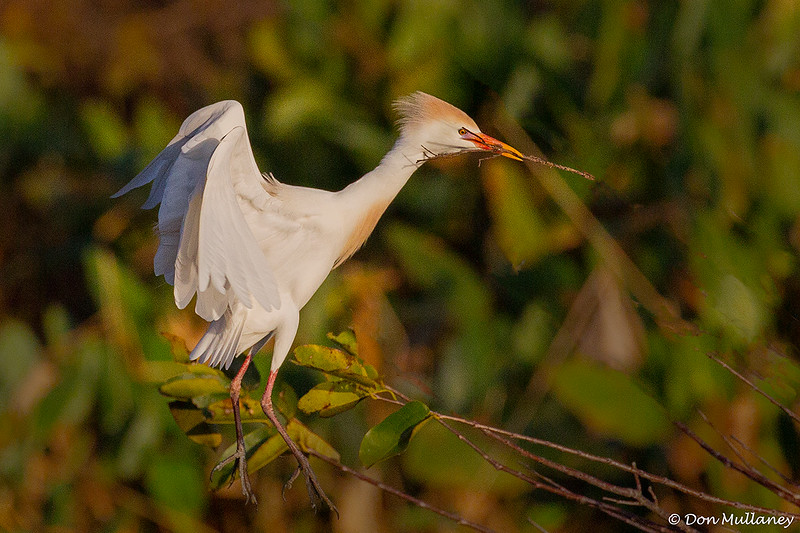 Cattle Egret with nesting material- Wakodahatchee Wetlands, Delray Beach, FL