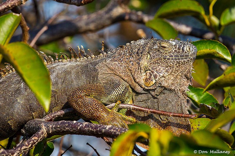 Iguana catching some rays - Wakodahatchee Wetlands, Delray Beach, FL