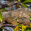 Iguana catching some rays - Wakodahatchee Wetlands, Delray Beach, FL