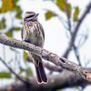 Variegated Flycatcher - Evergreen Cemetery, Davie, FL