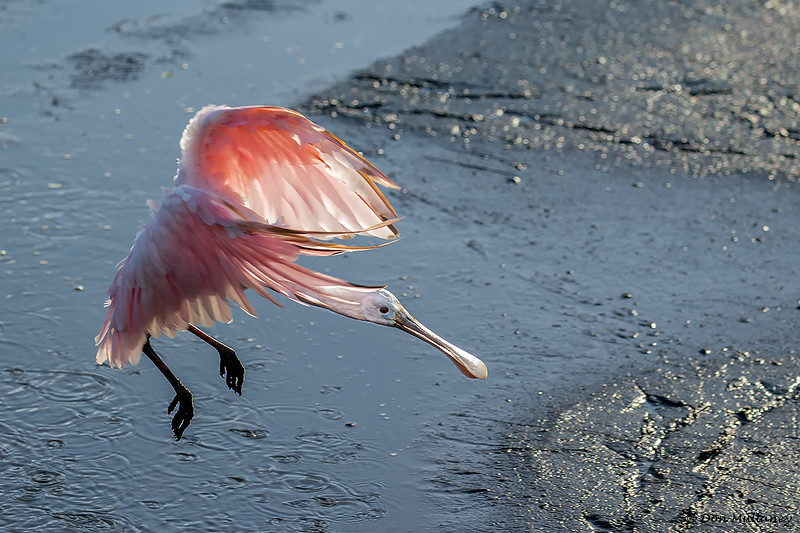 Roseate Spoonbill coming in for a landing- Wakodahatchee Wetlands, Delray Beach, FL