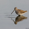 Yeh!....I can reach bottom! This Dowitcher is enjoying the lower water levels - Peaceful Waters, Wellington, FL