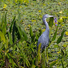 Little Blue Heron amongst the Pickerelweed - Peaceful Waters, Wellington, FL
