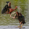 Glossy Ibis, scene three.