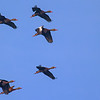 A Black-bellied Whistling Duck flyover.<br /> <br /> Peaceful Waters, Wellington, FL