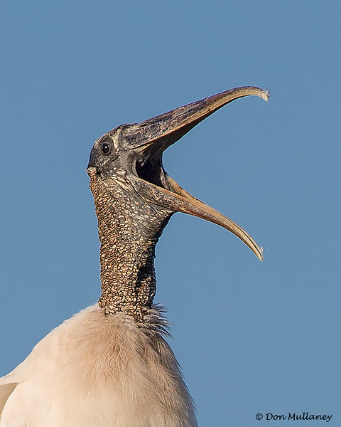 A Woodstork calling- Green Cay Wetlands, Boynton Beach, FL