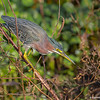 A Green Heron on the hunt- Peaceful Waters, Wellington, FL