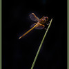 Dragonfly - Seacrest Scrub, Boynton Beach, FL