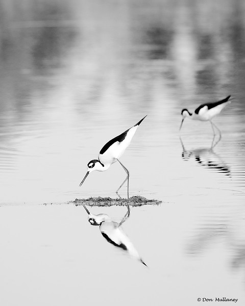 A black and white image of Black-necked Stilts.<br /> <br /> Peaceful Waters, Wellington, FL