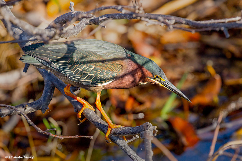 Green Heron waiting for a meal to pass by - Wakodahatchee Wetlands, Delray Beach, FL