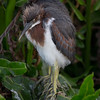 A Tri-colored Heron chick- Wakodahatchee Wetlands, Delray Beach, FL