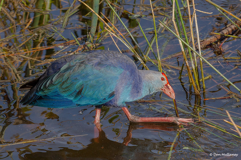 Purple Swamphen feeding on reeds - Wakodahatchee Wetlands, Delray Beach, FL